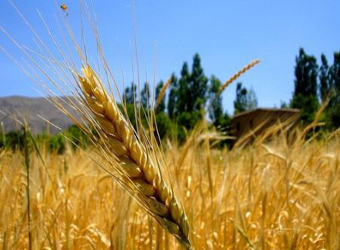 Egypt Poised To Buy French Wheat As Prices Discounted To Russia Amwal Al Ghad