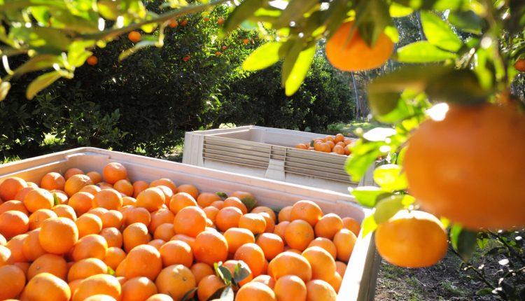 oranges exporter